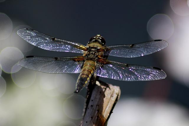 libellula, stagno, cielo